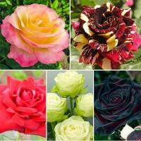 Саженцы Роз. Плетистые, бордюрные, чайно-гибридные сорта