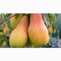 Продам грушу Толгарська красуня до 1, 5т