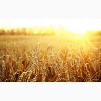 Компанія закупляє пшеницю не класну