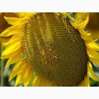 Насіння соняшнику Карат і Нео (толерантні до гранстару)