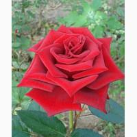 Продам саженцы роз, плодовых деревьев