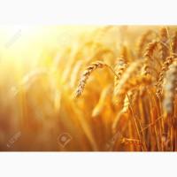 Куплю у сільгоспвиробників пшеницю різної якості з домішкою