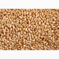 Закупаем на постоянной основе пшеницу
