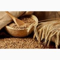 Закуповуємо пшеницю фуражну по Волинській області