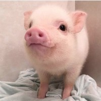 Дорого куплю коров баранов быков свиней