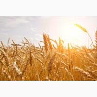 Постійно купуємо пшеницю фуражну на елеваторах і господарствах