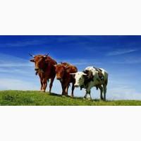 Купим баранов быков коров лошадей дорого свиней