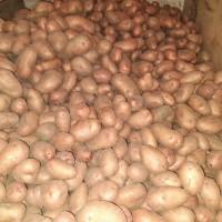Продам домашню картоплю Словянка