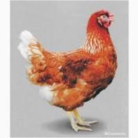 Продам молодых курочек породы Ломан Браун 4.5 месяцев