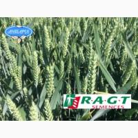 Насіння озимої пшениці ЛІНУС (СН, перша)