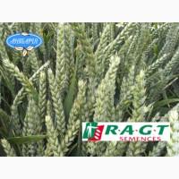 Насіння озимої пшениці РЕБЕЛЛ (СН, перша)