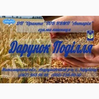 Насіння озимої пшениці Дарунок Поділля (БН, еліта, СН, перша)