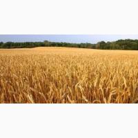 Озимая пшеница Шпаловка, семена (элита 1-я репродукция), урожай 2019 г, ТОВ НВП Агро-Ритм
