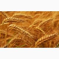 Озимая пшеница Антоновка, семена (1-я репродукция), урожай 2019 г, ТОВ НВП Агро-Ритм