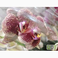 Продажа орхидей, онцидиум желтый