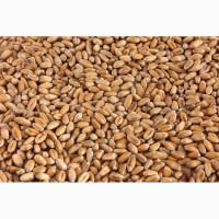 На постійній основі закуповуємо кукурудзу з господарств та елеваторів