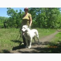 Продам взрослую собаку (Харьков) - алабай, среднеазиатская овчарка