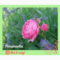 Троянди / Розы ексклюзив і популярні сорти