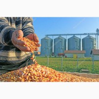 Закуповуємо кукурудзу фуражну в Закарпатській області