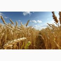 Пшениця Нива Одеська 1 Репродукція