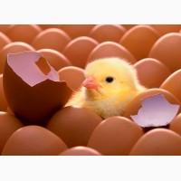 Инкубационное яйцо разных пород птицы