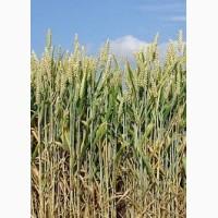 Пшениця Чорнява Еліта