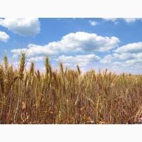 Пшениця Сталева Еліта