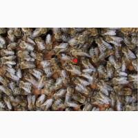Неплодные пчелиные матки пород Украинская степная, Бакфаст, Карника, Итальянка