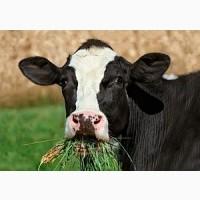 Куплю говядину коров быков