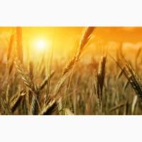 Закуповуємо відходи кукурудзи (вологу кукурудзу чи не кондицію) по Дніпропетровщині