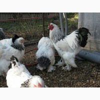 Брама Светлая инкубационное яйцо и цыплята