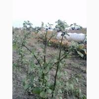 Санберри семена