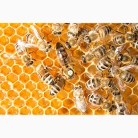Пчеломатка Карпатка Бджоломатки плодные 2018 года F1