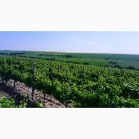 Продам Виноград, Каберне, Мерло, Вино-продукт