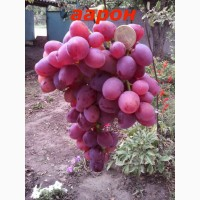 Черенки и саженцы не укрывного зимостойкого винограда