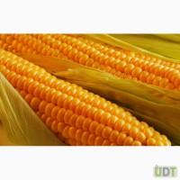 Посівний матеріал гібриду кукурудзи ГРАН 6(ФАО 300)