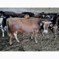 Продам реализует бычков