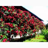 Продаются плетистые розы. Более 20 сортов