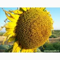 Увага Акція! Насіння соняшника не дорого