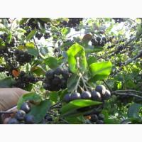 Продам саженцы черноплодной рябины