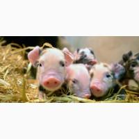 Комбікорм для свиней СТАРТ