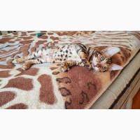 Бенгальская кошка купить Одесса