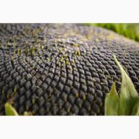 Продамо насіння соняшнику під гранстар/ безкоштовна доставка/посівний матеріал соняшнику