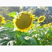 Соняшник під гранстар гібрид Нео /насіння соняшнику