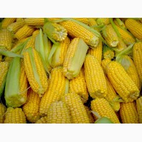 Гібрид насіння кукурудзи Яніс
